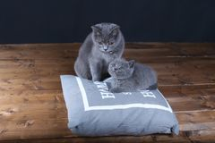 Kitten and mom cat sitting on a grey pillow. British Shorthair kitten playing with his mother on a soft grey pillow, close-up portrait, wooden floor Stock Photos