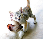 Kitten and Mother Cat Royalty Free Stock Photo