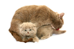 Kitten with mother cat Royalty Free Stock Image