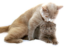 Kitten with mother cat Stock Photo