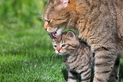 Kitten with mother Stock Photography