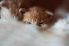 Kitten in mother& x27;s fur Stock Photos