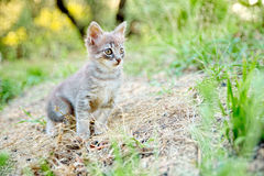 Kitten motionless on the soil blurry of countryside observes a small prey ready and alert Royalty Free Stock Images