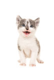 Kitten with mouth open. Cute grey and white baby cat kitten facing the camera standing and smiling mouth open isolated on a white background Stock Image