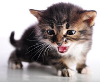 Kitten with mouth open meowing Royalty Free Stock Images