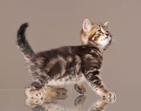 Kitten in movement Stock Photos