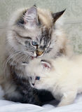 Kitten with mum. Stock Photos