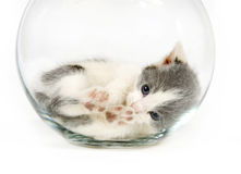 Kitten napping in a fishbowl Royalty Free Stock Image