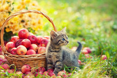 The kitten near a basket with red apples Stock Photos