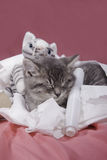 Kitten nestled in toilet paper. Royalty Free Stock Photo