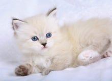 Kitten Neva a masquerade cat. Royalty Free Stock Photos