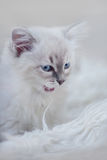 Kitten of neva masquerade Stock Photos