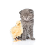 Kitten and newborn chicken looking at camera. isolated on white Stock Image