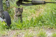 Kitten observes exactly. Catsbaby observes something in the meadow - cloeseup Royalty Free Stock Photo