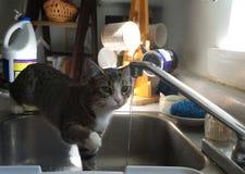 Kitten Observes Water del grifo de la cocina Foto de archivo