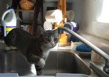 Kitten Observes Water from Kitchen Faucet Stock Photo