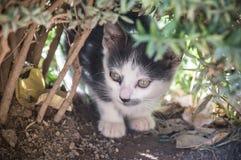 Kitten observing Behind a bush. Portrait of kitten observing Behind a bush Royalty Free Stock Photos