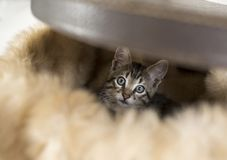 Kitten in an old hat box or suitcase. Playful kitten inside an old hat box playing hide and seek. This is a domestic male cat, eight weeks old. He enjoys hiding Royalty Free Stock Photo