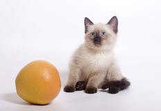 Kitten and orange. The kitten sits on white background near to orange stock images