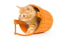 Kitten in an orange barrel. A kitten sits inside of a tipped over orange barrel used as Halloween decorations stock image