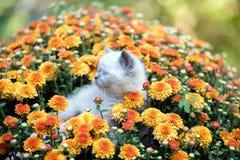 Kitten in orange chrysanthemum flowers. Cute little color point kitten in orange chrysanthemum flowers royalty free stock photos