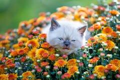 Kitten in orange chrysanthemums flowers. Cute little seal point kitten in orange chrysanthemums flowers stock photography