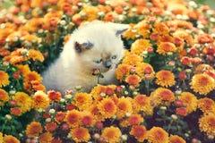Kitten in orange chrysanthemums flowers stock image