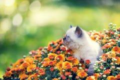Kitten in orange chrysanthemums flowers. Cute little seal point kitten in orange chrysanthemums flowers stock photo