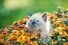 Kitten in orange chrysanthemums flowers. Cute little seal point kitten in orange chrysanthemums flowers stock photos