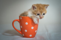 Kitten in orange cup Royalty Free Stock Photos