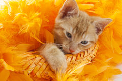 Kitten in orange. Red kitten in orange feathers isolated over white royalty free stock photos