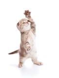 Kitten over white Stock Photography