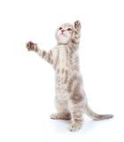 Kitten over white Royalty Free Stock Images