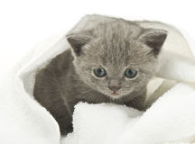 Kitten over white Royalty Free Stock Photos