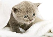 Kitten over white royalty free stock photo