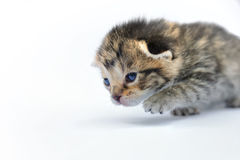 Kitten over white background Royalty Free Stock Image