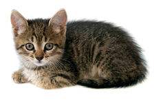 Kitten over white background. Looking stock image