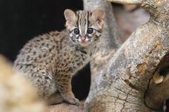 Palawan leopard cat. The kitten of Palawan leopard cat Royalty Free Stock Image