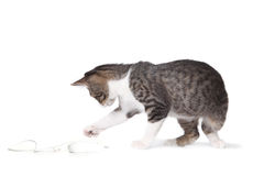Kitten Pawing at a Mouse Stock Photography
