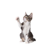 Kitten Pawing at Something Royalty Free Stock Images