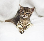 Kitten with pearl necklaces. Fashionable cute kitten with pearl necklaces  over white fur Royalty Free Stock Photography