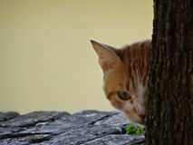Kitten peeking out from behind a tree trunk. Observing the photographer Royalty Free Stock Photo