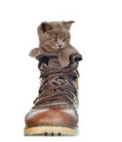 Kitten peeking out of the boot. on white background.  royalty free stock photo