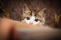 Kitten peeking out of a chair. Cute kitten peeking out of a chair Royalty Free Stock Photos