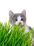 Kitten peeking out of the grass Royalty Free Stock Image