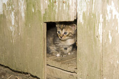 Kitten peeking out of a hole in a wooden door Royalty Free Stock Images