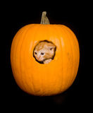Kitten peeking out of pumpkin Stock Photos