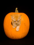 Kitten peeking out of pumpkin Royalty Free Stock Photography