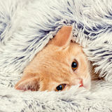 Kitten peeking out from under the blanket Royalty Free Stock Photos