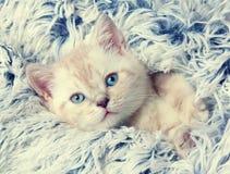 Kitten peeking out from under the blanket Stock Photo